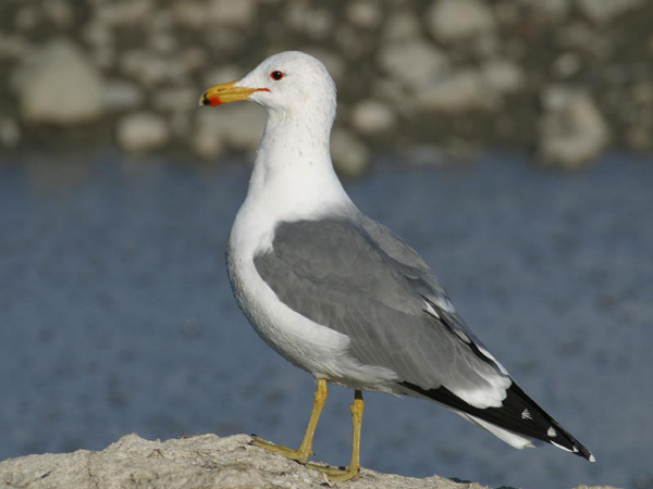 A Moment to Think About Our State Bird: California Gull, Courtesy and Copyright 2003 Jack Binch - All Rights Reserved