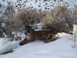 Cougars in Utah: FemaleF43, Butterfield Canyon, 2009 Courtesy and Copyright David Stoner