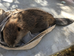 Processing a beaver kit, Courtesy & © Emma Doden, Photographer