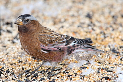 Rosy Finches: Gray-crowned Rosy-Finch Leucosticte tephrocotis Courtesy & Copyright Jack Binch, Photographer