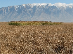 Invasive Phragmites: Great Salt Lake Phragmites Courtesy & Copyright Karin Kettenring