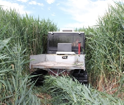 Mowing Phragmites Courtesy & Copyright Karin Kettenring