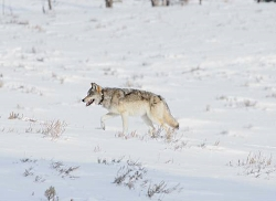 Yellowstone Elk's response to Wolves: Collared Yellowstone Wolf Courtesy & Copyright Matt Metz