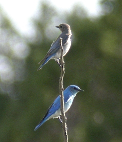 Mountain Bluebird Pair Courtesy & Copyright Milt Moody, Photographer Utahbirds.org