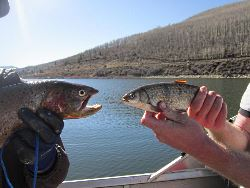 Trout vs. Chub: The competitors: trout vs Utah chub in Scofield Reservoir