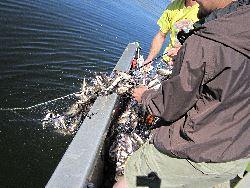Research technicians pull in a net full of Utah chub.
