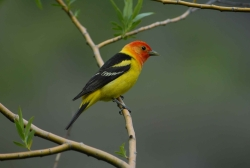 Male Western Tanager Courtesy Pixabay