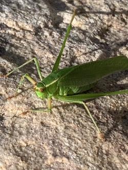 Katydid or bush cricket Courtesy & Copyright Shannon Rhodes, Photographer