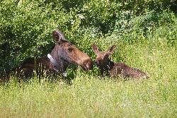 Shiras Moose Cow & Calf Courtesy & Copyright Sam Robertson