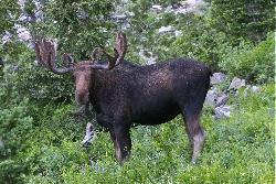 Monitoring Utah Moose: Shiras Moose Cow in Northern Utah Courtesy & Copyright Sam Robertson