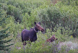 Moose Cow & Calf with radio collars Courtesy & Copyright Sam Robertson, Photographer