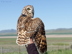 Short-eared Owl(SEOW) body-Courtesy & Copyright Neil Paprocki, HawkWatch International, Photographer