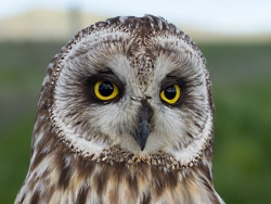 Short-eared Owl(SEOW) face-Courtesy & Copyright Neil Paprocki, HawkWatch International, Photographer