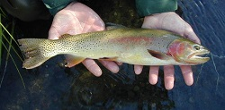 Yellowstone Cutthroat Trout, Oncorhynchus clarki bouvieri