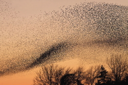 Starling Murmuration Courtesy Wikimedia and Copyright Walter Baxter Licensed under Creative Commons Attribution-ShareAlike 2.0 license