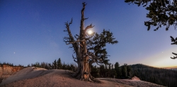 Four planets and the Moon are visible in the twilight sky over ancient Bristlecone Pine trees at Cedar Breaks NM Courtesy US NPS, Zach Schierl, Photographer
