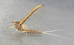 Mayfly Imago Courtesy Audrey Zharkikh,, Photographer Found on VisualHunt.com Licensed through CC BY-SA https://creativecommons.org/licenses/by-sa/2.0/legalcode