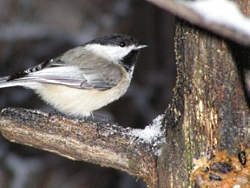 Black-Capped Chickadee Copyright Stephen Peterson, Photographer