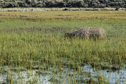 Tumbleweed in Marsh, Courtesy and Copyright Anna Bengston
