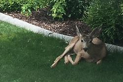 Urban Ecotone: Urban Mule Deer in Central Utah Courtesy & Copyright Lyle Bingham