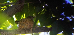 Adult Black-chinned Hummingbird incubating eggs in nest Archilochus alexandri Copyright © 2010 Lyle Bingham (cell phone through spotting scope)