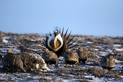 Dominate Male Sage-Grouse with Females, Courtesy & Copyright Todd Black, Photographer