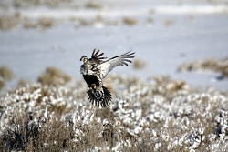 Female Sage-Grouse Flying in Winter, Courtesy & Copyright Todd Black, Photographer