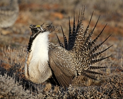 Male Sage-Grouse on Lek, Courtesy & Copyright Todd Black, Photographer