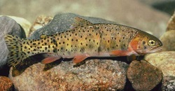 Colorado River Cutthroat Trout, Oncorhynchus clarki pleuriticus