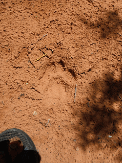 Big cat footprint Courtesy & Copyright Josh Boling, Photographer