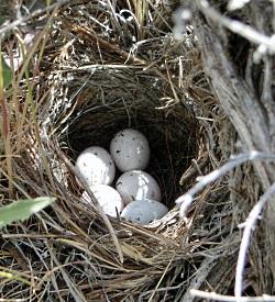 Lark Sparrow Nest, Courtesy & Copyright © Jim Cane, Photographer
