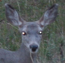 Deer Eyeshine Courtesy National Park Service, US Department of the Interior