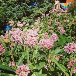 Milkweed in Bloom Courtesy & Copyright 2020, Jennifer Burghardt Dowd, Photographer https://raeenvironmentalinc.org