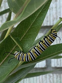 Monarch Caterpillar Feeding on Milkweed Courtesy & Copyright 2020, Jennifer Burghardt Dowd, Photographer https://raeenvironmentalinc.org