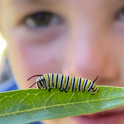 Monarch Waystations: Monarch Caterpillar, Under Watch By Young Eyes Courtesy & Copyright 2020, Jennifer Burghardt Dowd, Photographer https://raeenvironmentalinc.org