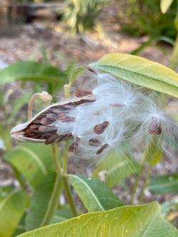 Milkweed Seed Courtesy & Copyright 2020, Jennifer Burghardt Dowd, Photographer https://raeenvironmentalinc.org