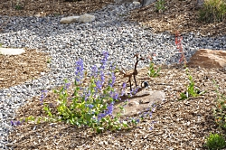 Wasatch Penstemon and the start of Firecracker Penstemon in photographer's water-wise backyard landscape Courtesy & Copyright Dr Tom Edwards, Photographer