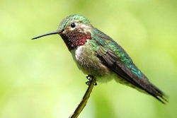 Male Broad-tailed Hummingbird Selasphorus platycercus Copyright © 2010 Michael Fish