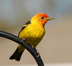 Western Tanager Courtesy & Copyright © 2010 Michael Fish