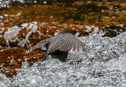 Wildlife In Winter & Climate Change: American Dipper Peter Hart, Photographer Photo credit: PEHart via Visual hunt / CC BY-SA