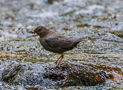 American Dipper Peter Hart, Photographer Photo credit: PEHart via Visual hunt / CC BY-SA