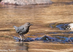 American Dipper Ashley Tubbs, Photographer Photo credit: ashleytisme via Visual Hunt / CC BY-ND