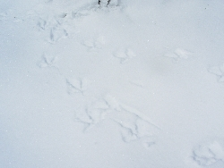 Grouse Tracks in Snow Courtesy & Copyright Nicki Frey, Photographer