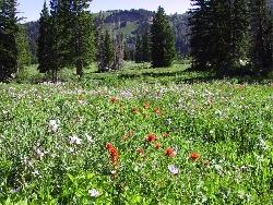 Wild Flowers in Tony Grove Meadow Courtesy USDA Forest Service Teresa Prendusi, Photographer