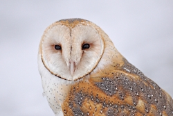 Barn Owl Courtesy US FWS