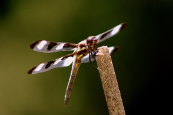 Twelve spot skimmer, Courtesy US FWS, Rick L. Hansen, Photographer