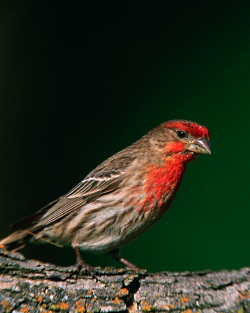 Spring Testosterone: Male House Finch Courtesy US FWS Gary Kramer, Photographer