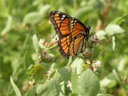 Viceroy Butterfly, Click to view the butterflies page from Lee Metcalf National Wildlife Refuge, Montana