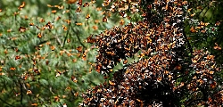Monarchs in Mexico Courtesy FWS Pablo Leutaud, Photographer Licensed under Creative Commons