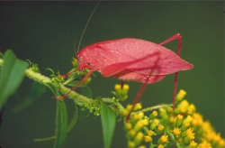 Insect Musicians: Katydid Courtesy US FWS, Dr Thomas Barnes, Photographer